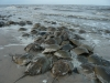 Pickering Beach, Little Creek Delaware - Horseshoe Crabs