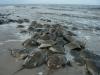 Pickering Beach, Little Creek Delaware - Horseshoe Crabs